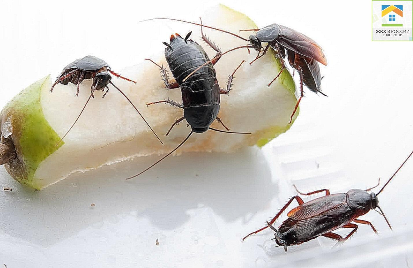 Тараканы грызут грушу